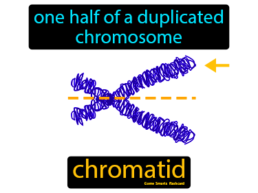 Chromatid Science Definition