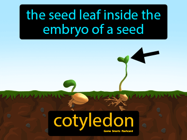 Cotyledon Science Definition