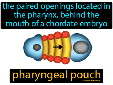 Pharyngeal Pouch Science Definition