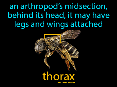 Thorax Science Definition