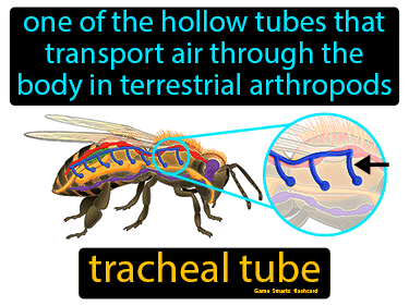 Tracheal Tube Science Definition