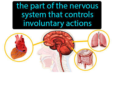 Autonomic Nervous System Definition Flashcard