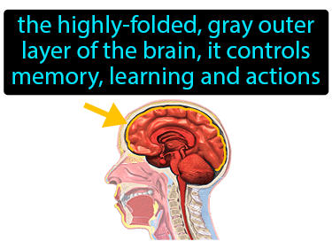 Cerebral Cortex Definition Flashcard