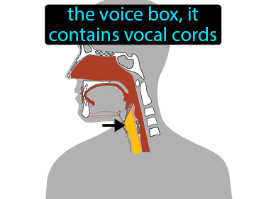 Larynx Definition Flashcard