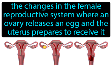 Menstrual Cycle Definition Flashcard
