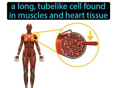 Muscle Fiber Definition Flashcard