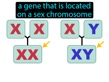 Sex Linked Gene Definition Flashcard
