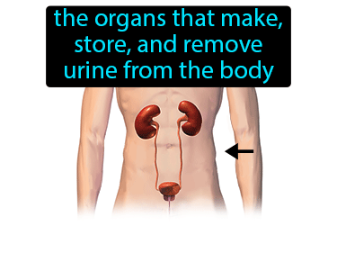 Urinary System Definition Flashcard