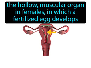 Uterus Definition Flashcard