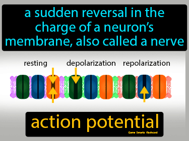 Action Potential Definition Flashcard