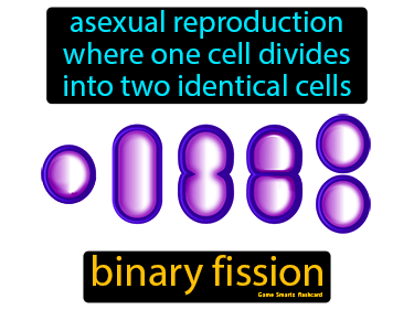 Binary Fission Science Definition