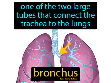 Bronchus Definition Flashcard