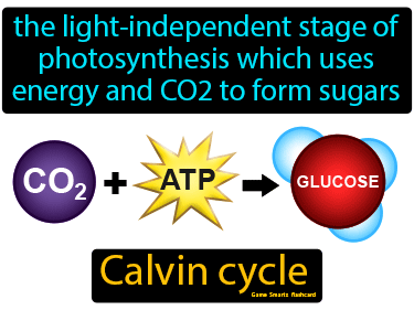 Calvin Cycle Definition Flashcard