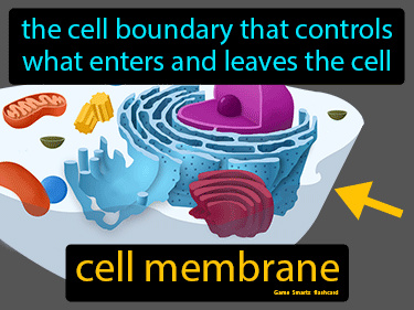 Cell Membrane Definition Flashcard