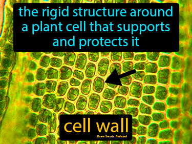 Cell Wall Definition Flashcard