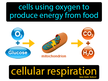 Cellular Respiration Science Definition