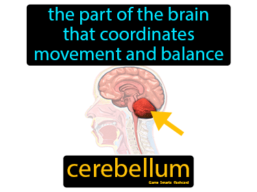 Cerebellum Definition Flashcard