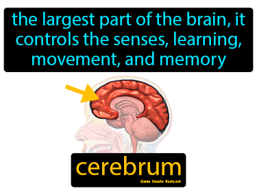 Cerebrum Definition Flashcard