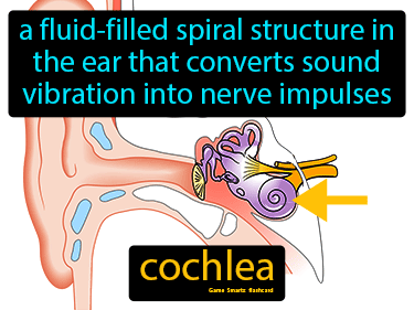 Cochlea Definition Flashcard