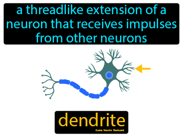 Dendrite Definition Flashcard