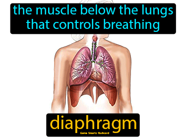 Diaphragm Definition Flashcard