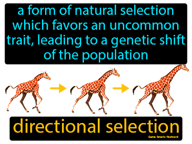 Directional Selection Definition Flashcard