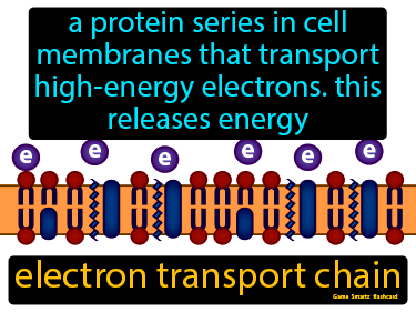 Electron Transport Chain Definition Flashcard