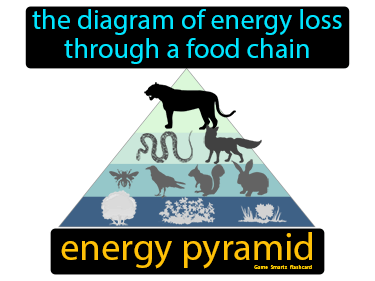 Energy Pyramid Definition Flashcard