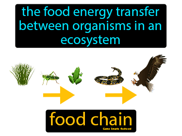 Food Chain Definition Flashcard