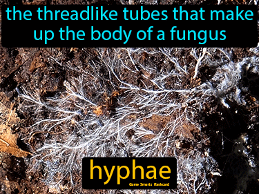 Hyphae Science Definition