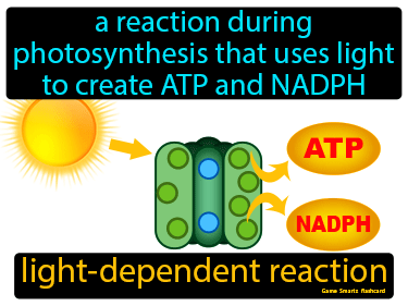 Light Dependent Reaction Definition Flashcard