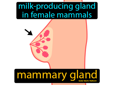 Mammary Gland Definition Flashcard