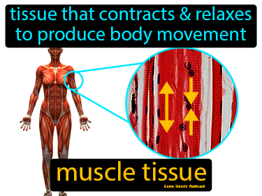 Muscle Tissue Definition Flashcard
