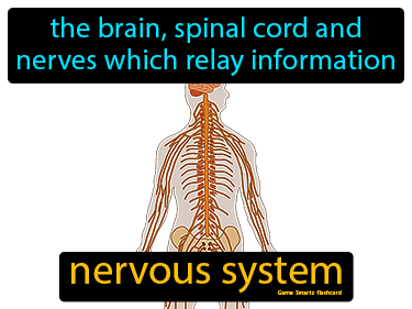 Nervous System Definition Flashcard