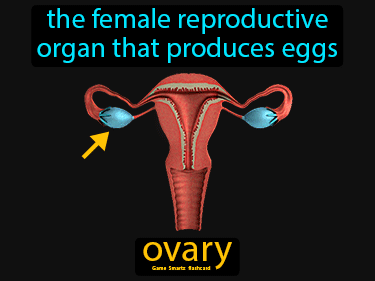 Ovary Definition Flashcard