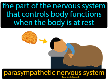 Parasympathetic Nervous System Definition Flashcard