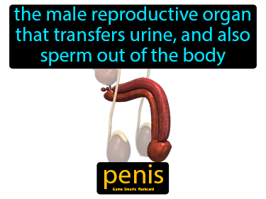 Penis Definition Flashcard