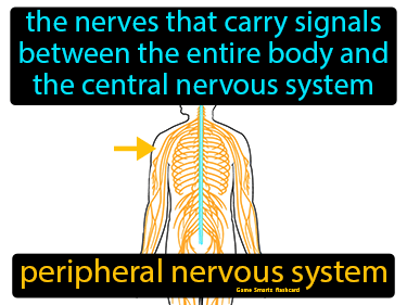 Peripheral Nervous System Definition Flashcard