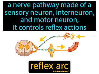 Reflex Arc Definition Flashcard