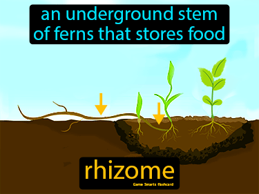 Rhizome Science Definition