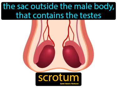 Scrotum Definition Flashcard