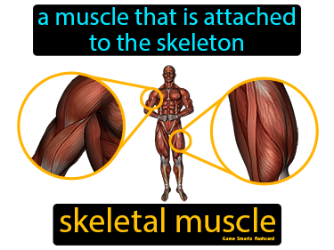 Skeletal Muscle Definition Flashcard