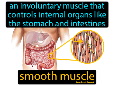 Smooth Muscle Definition Flashcard