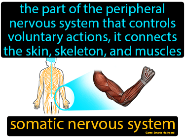 Somatic Nervous System Definition Flashcard
