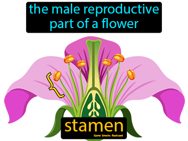 Stamen Science Definition