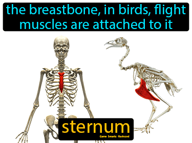 Sternum Science Definition