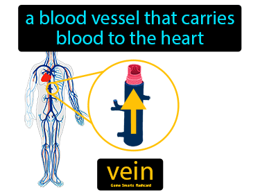 Vein Definition Flashcard