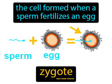 Zygote Science Definition