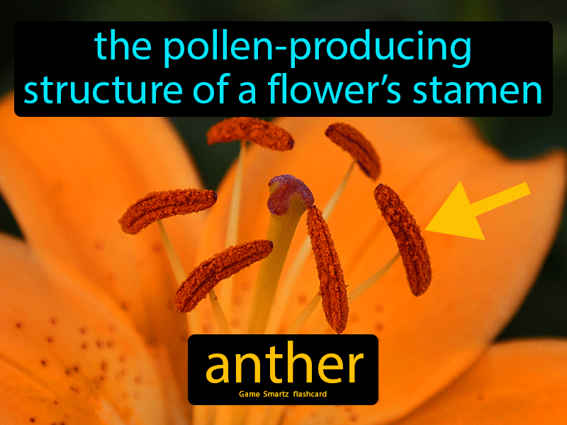 Anther Definition: The pollen-producing structure of a flower's stamen. Science.