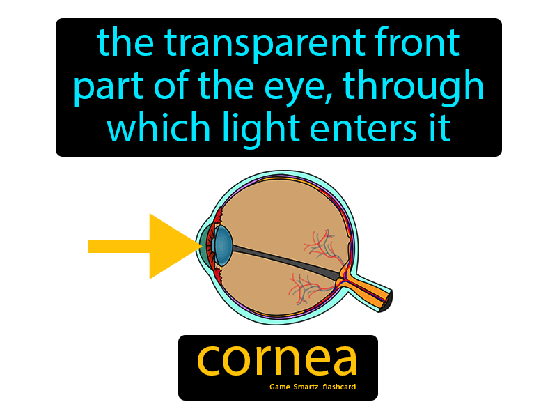 Cornea: The transparent front part of the eye, through which light enters it.